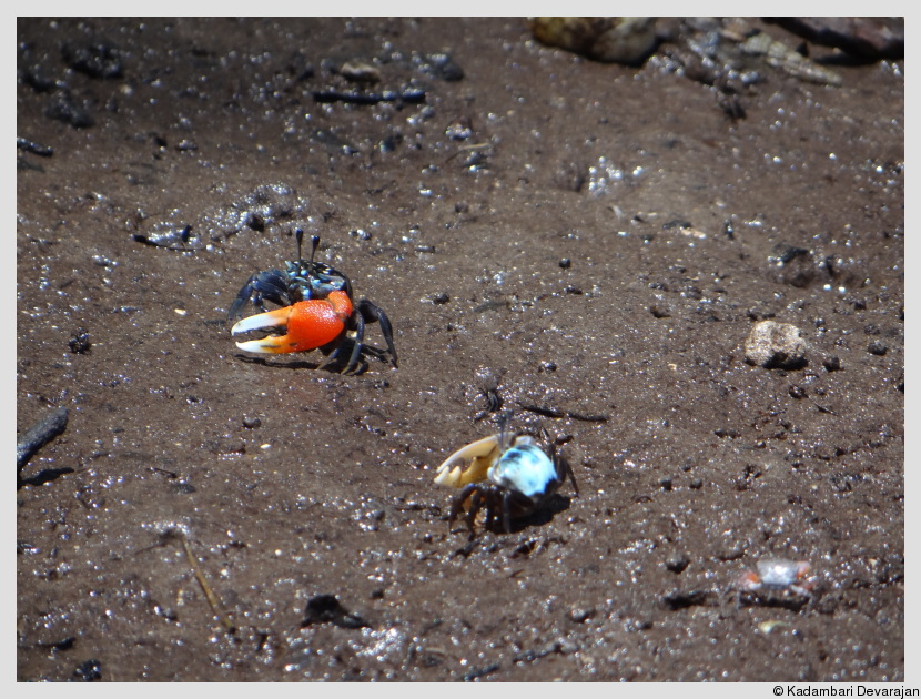 /photos/andamans_c/fiddler_crabs.JPG