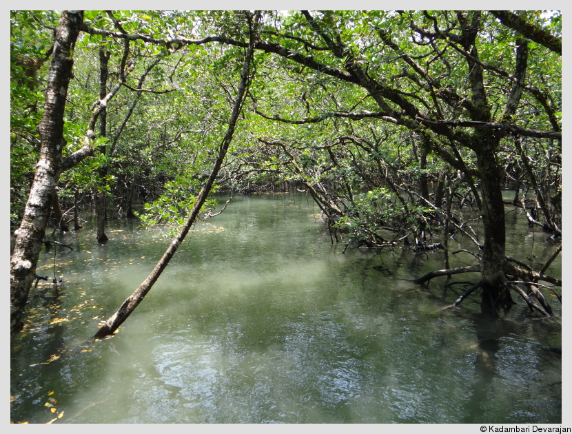 /photos/andamans_c/mangrove2.JPG