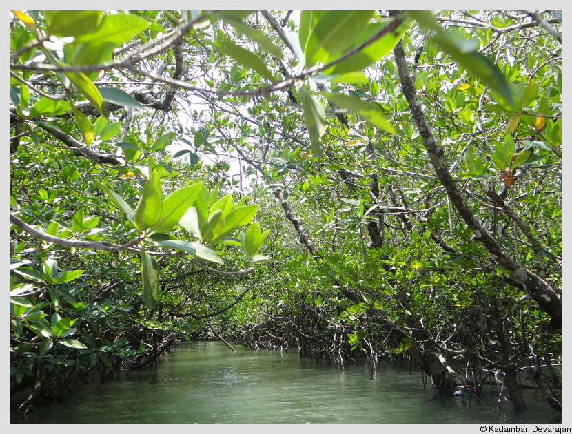 /photos/andamans_c/mangrove3.JPG