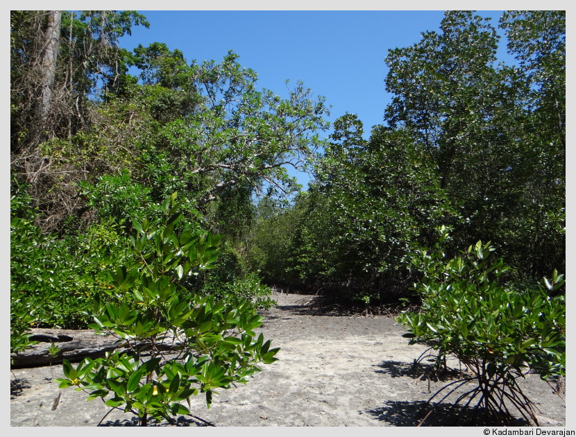 /photos/andamans_c/mangrove4.JPG