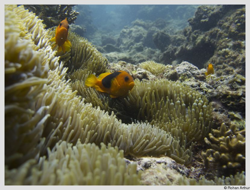 /photos/andamans_c/rohan/anemone_fish.jpg