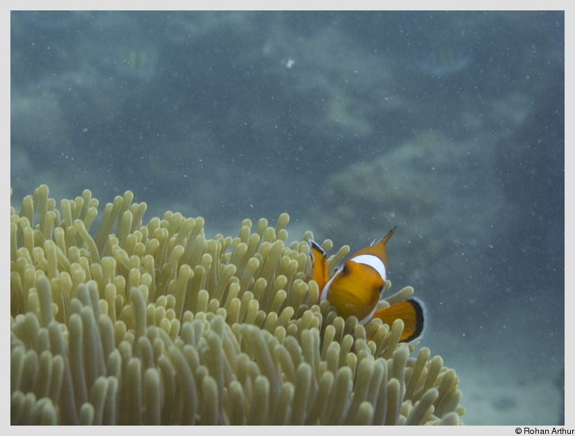 /photos/andamans_c/rohan/clown_fish.jpg