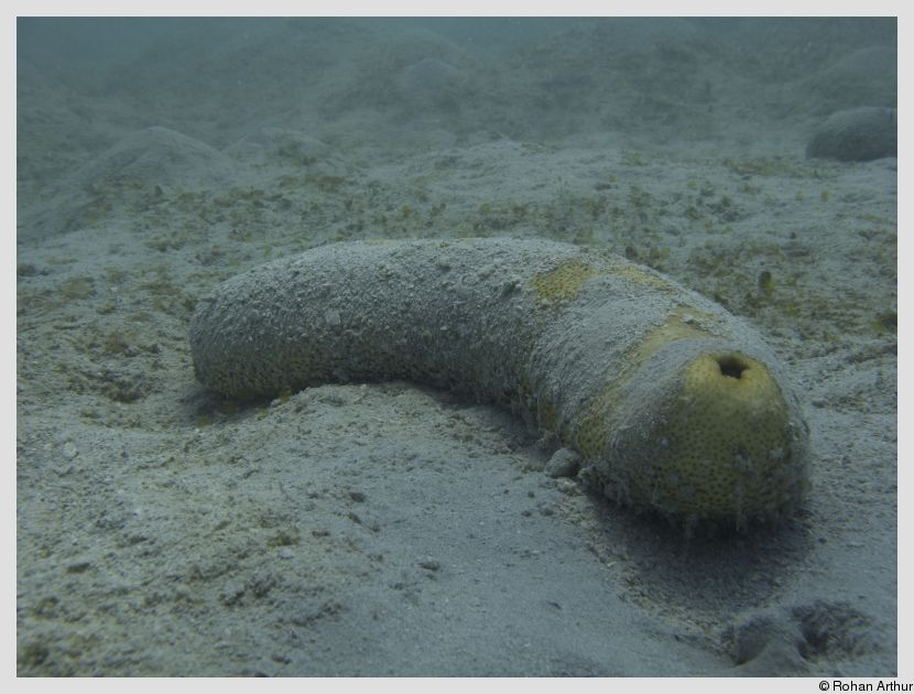 /photos/andamans_c/rohan/sea_cucumber.jpg