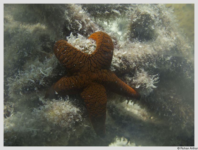 /photos/andamans_c/rohan/sea_star.jpg