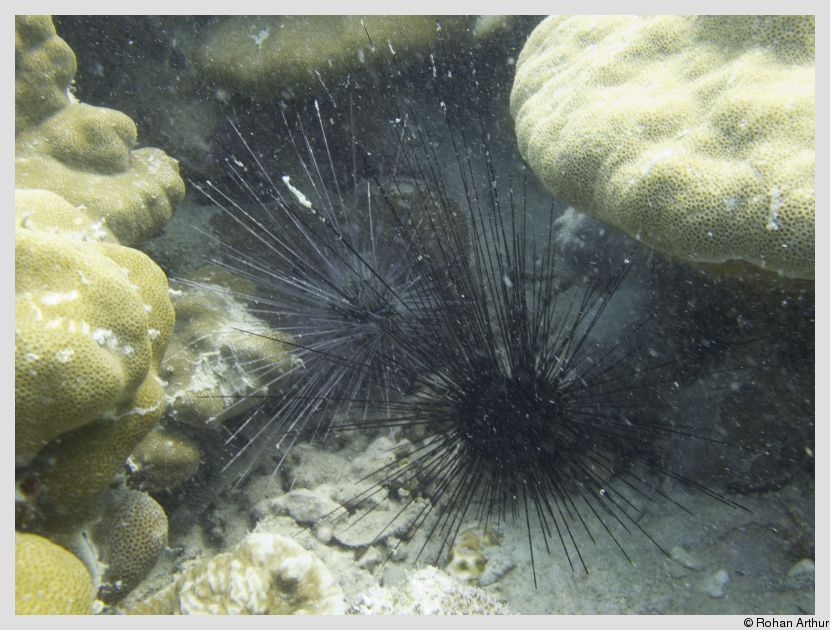 /photos/andamans_c/rohan/sea_urchin.jpg