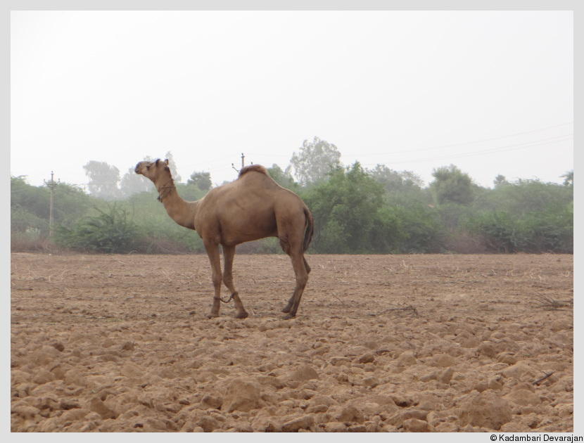 /photos/banni/camel2.JPG