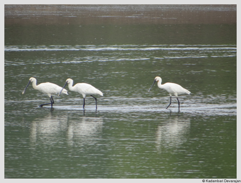 /photos/banni/spoonbills.JPG