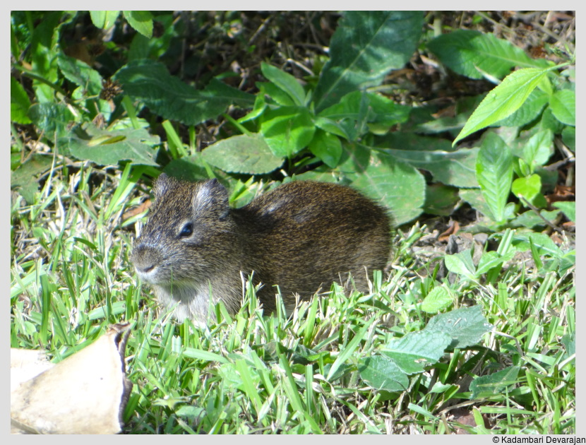 /photos/iguazu_website/agouti.JPG