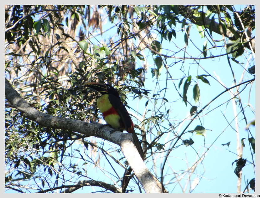 /photos/iguazu_website/aracari.JPG