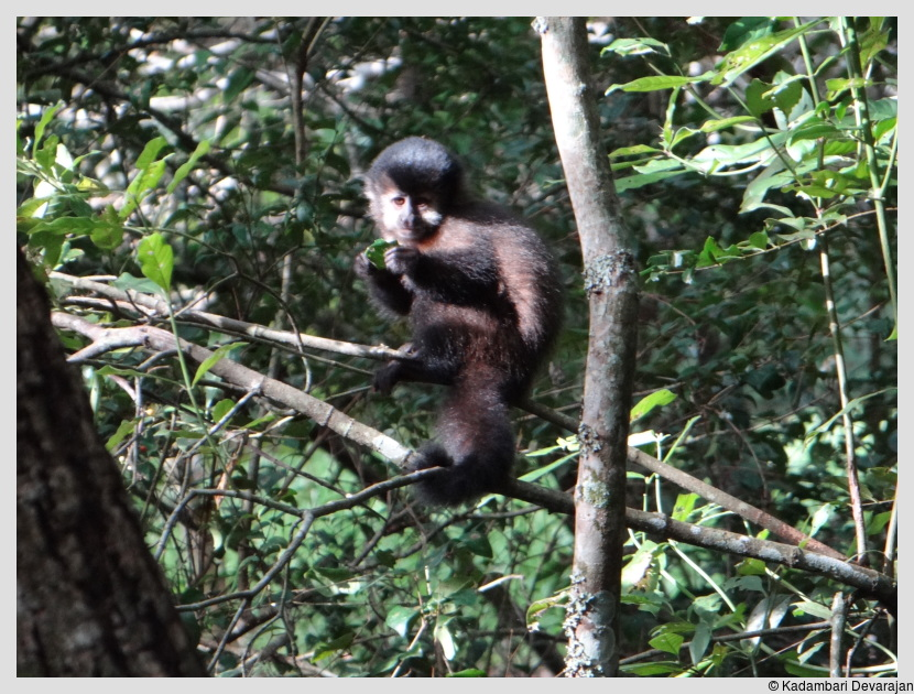 /photos/iguazu_website/capuchin.JPG