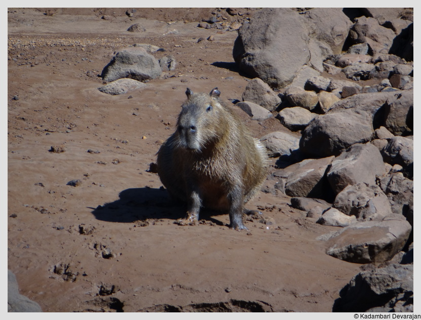/photos/iguazu_website/capybara3.JPG