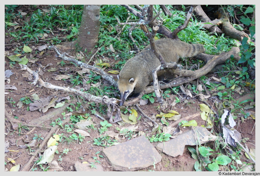 /photos/iguazu_website/coati1.JPG