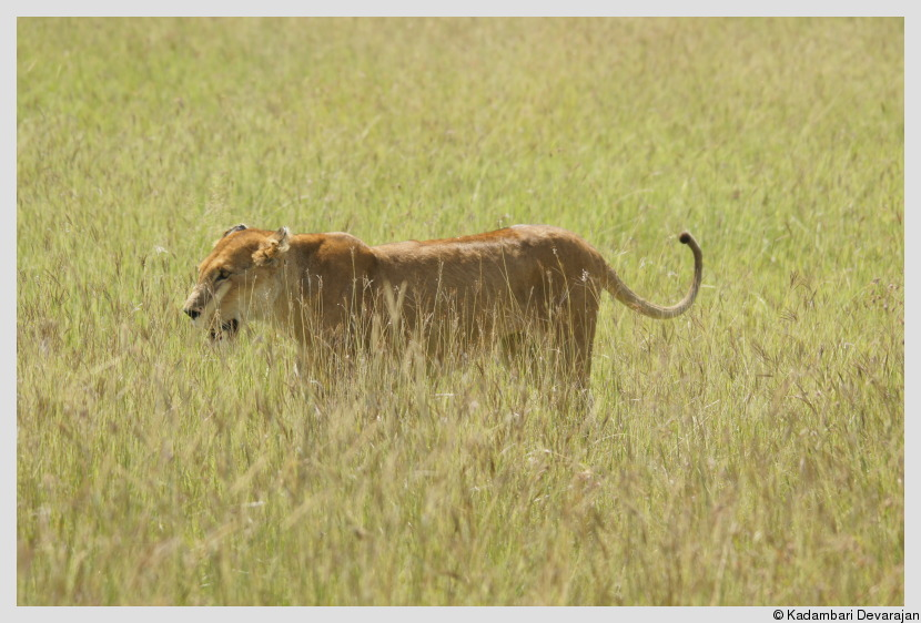 /photos/masai_mara_c/cats/l3.JPG