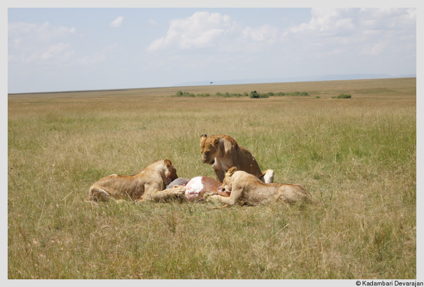 /photos/masai_mara_c/cats/lh24.JPG
