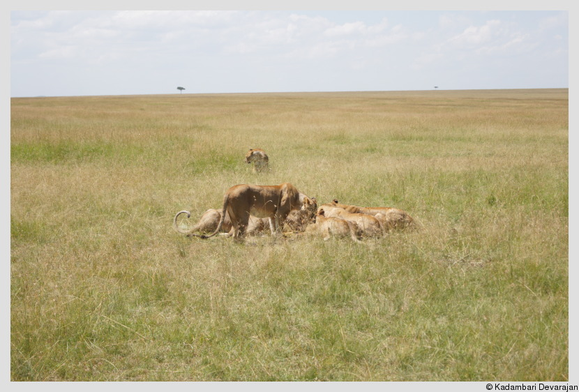 /photos/masai_mara_c/cats/lh25.JPG