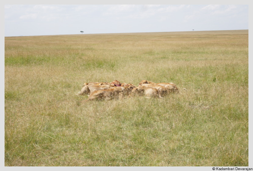 /photos/masai_mara_c/cats/lh26.JPG