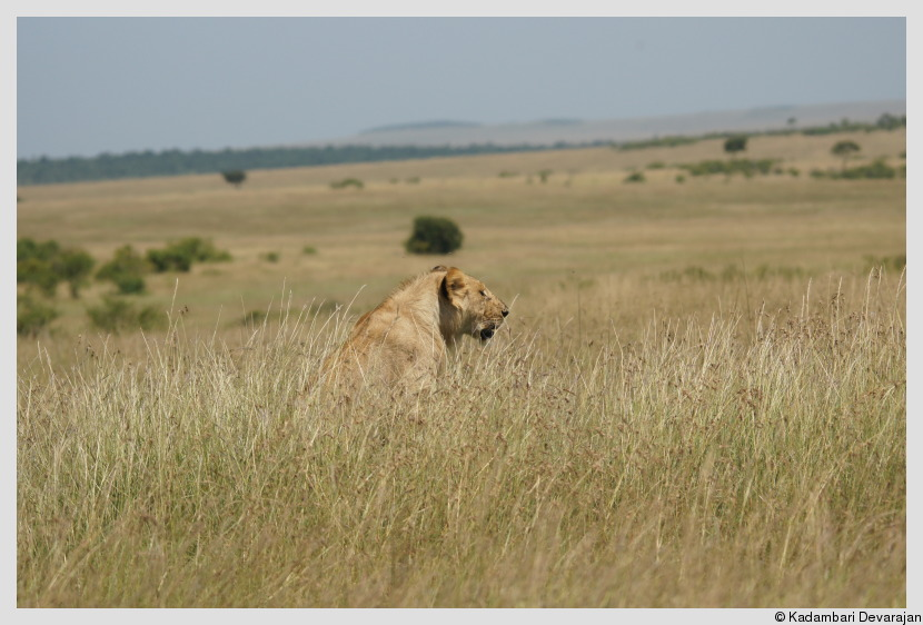 /photos/masai_mara_c/cats/lh3.JPG