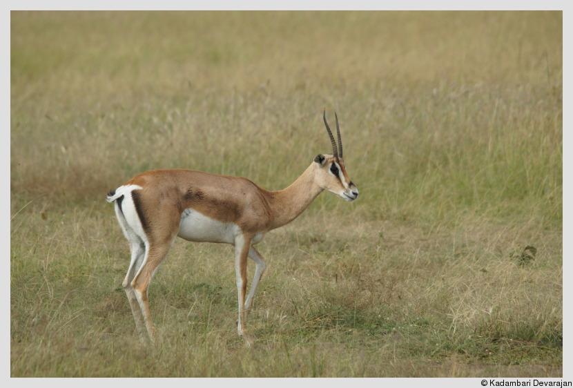 lioness gazelle in peace