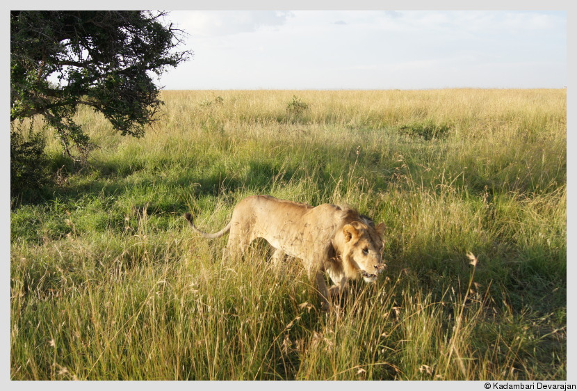 /photos/masai_mara_c/lion10.JPG
